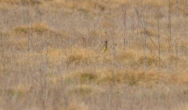An image of an Eastern meadowlark sitting on the ground in the spring at the Carden Alvar, Carden Township, Ontario.