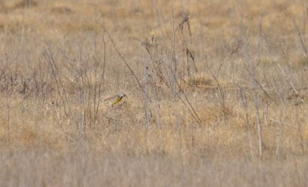 Eastern meadowlark sitting on the ground in the spring at the Carden Alvar, Ontario.