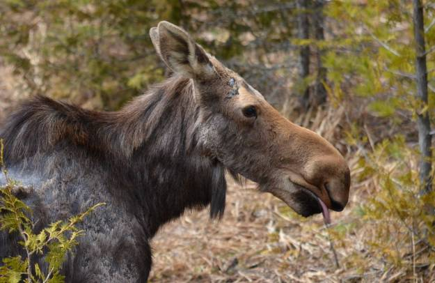 moose cow with tongue hanging out, algonquin park, ontario