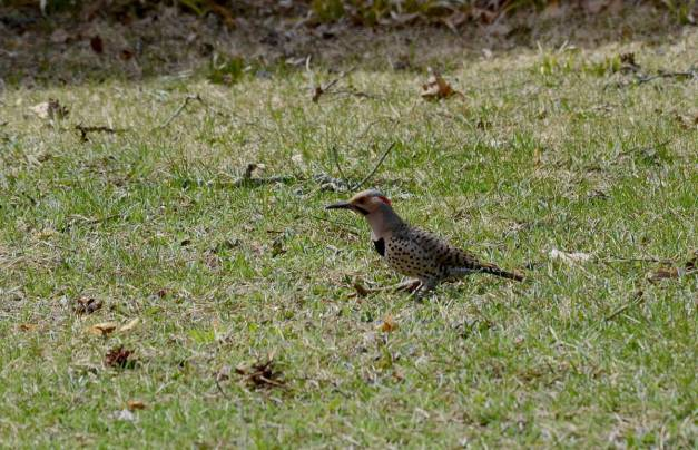 northern flicker near algonquin park, ontario 3