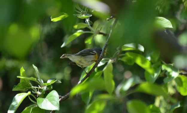 Northern parula sitting on a tree branch, in Toronto, Ontario