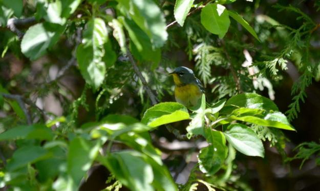 Northern parula sitting among leaves in Toronto, Ontario
