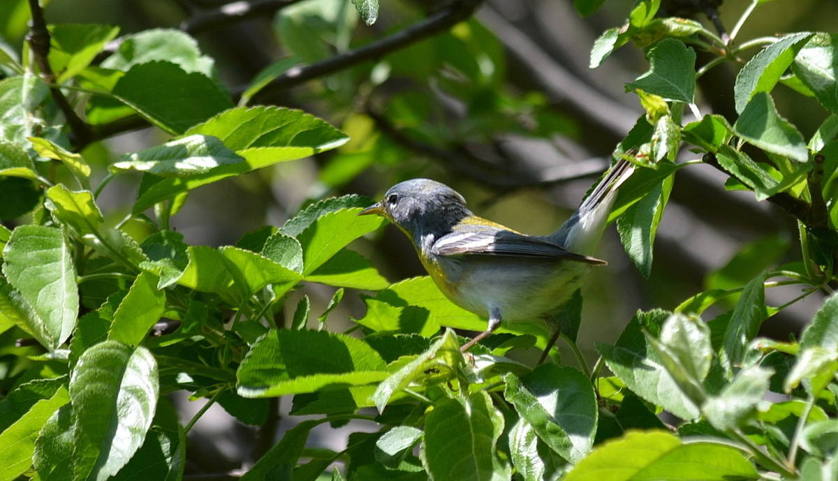 a northern parula warbler in a backyard oasis