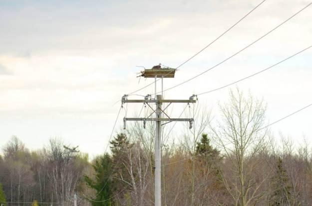 Osprey sitting in nest near Carden Alvar, City of Kawartha Lakes in Ontario