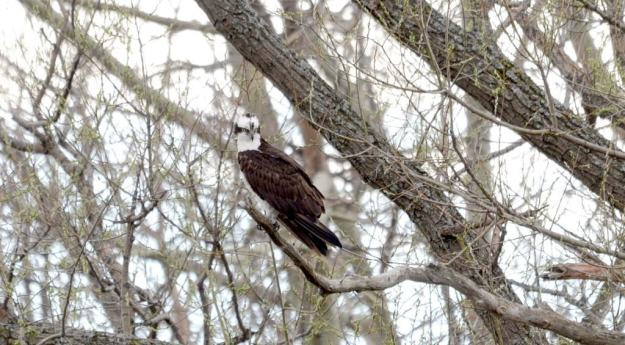 Osprey looking aroud while sitting in a tree Carden Alvar, City of Kawartha Lakes in Ontario