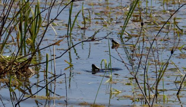 painted turtles, carden alvar, city of kawartha lakes, ontario, pic 1