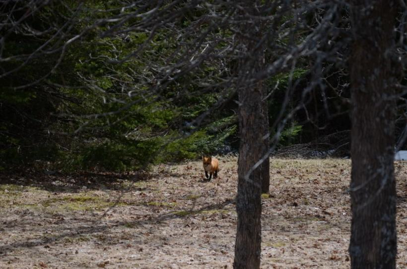 Image of a Red fox in a forest near Lake of Two Rivers, Algonquin Park, Ontario.