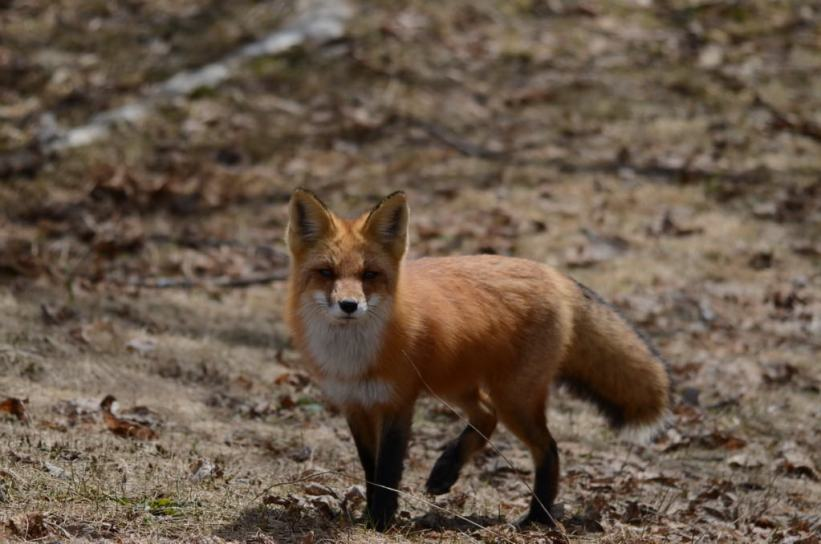 Image of a Red fox looking towards the camera in Algonquin Park, Ontario.