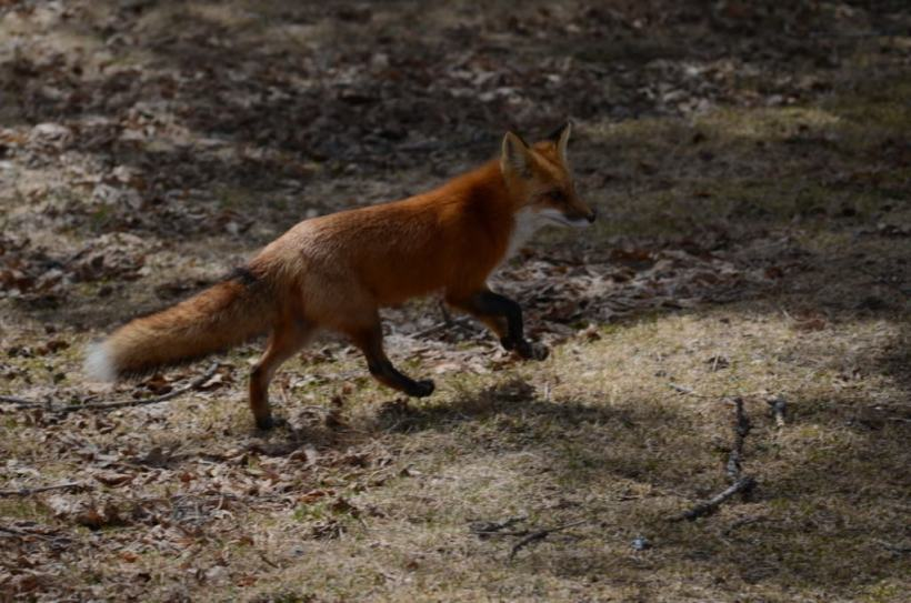 Image of a Red fox running through a forest in Algonquin Park, Ontario.
