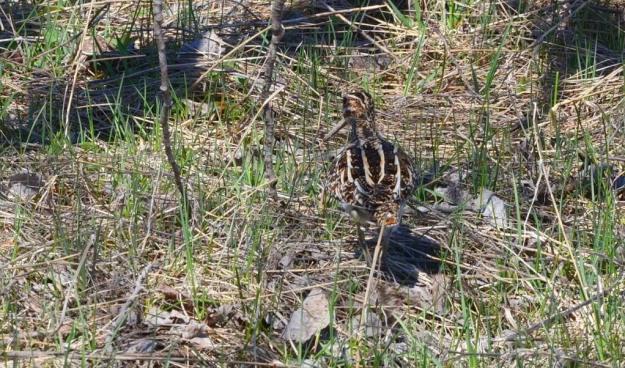 wilson's snipe, carden alvar, city of kawartha lakes, ontario, pic 2