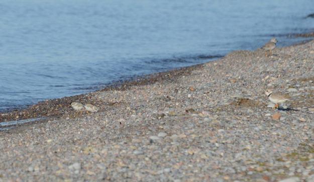 2 Piping Plover chicks with parents along Lake Ontario shoreline at Darlington Provincial Park, Ontario