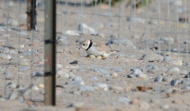 Piping Plover sitting on eggs at darlington provincial park, ontario, pic 3