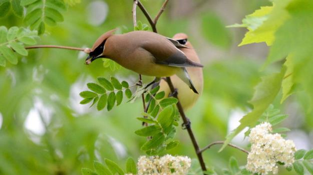 Image of two cedar waxwings courting at oxtongue lake, in ontario.
