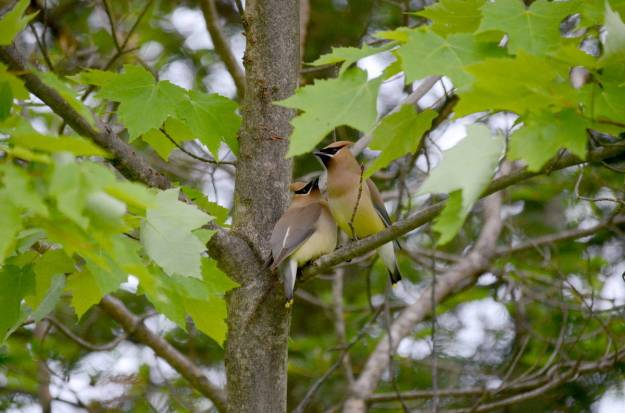 Cedar waxwings courting in trees at Oxtongue Lake in Ontario