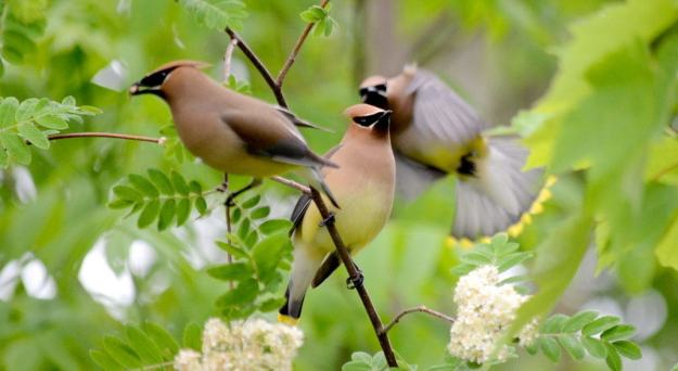 Image of cedar waxwings courting at oxtongue lake, in ontario.
