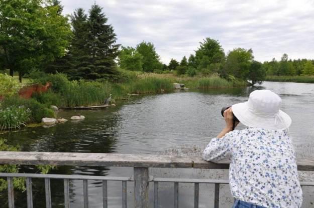 great blue heron at milliken park pond, toronto, ontario, pic 3