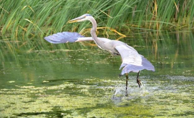 great blue heron, milliken park, toronto, ontario, pic 11
