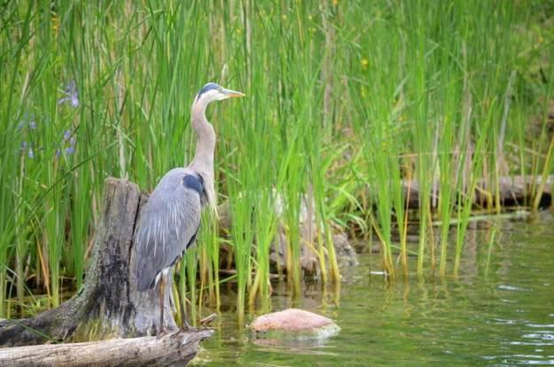 great blue heron, milliken park, toronto, ontario, pic 14