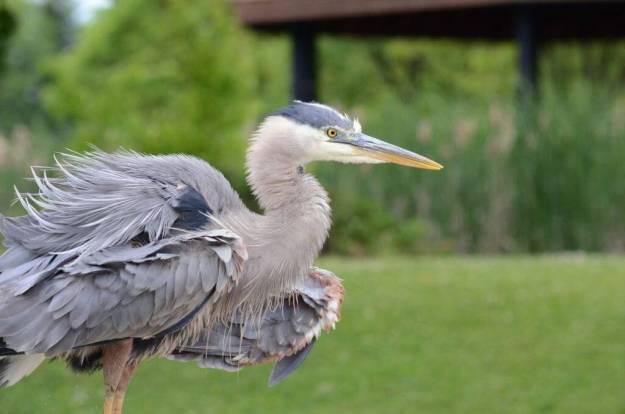 great blue heron, milliken park, toronto, ontario, pic 5