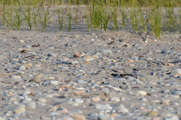 piping plover among sand and rocks at Darlington Provincial Park, Ontario
