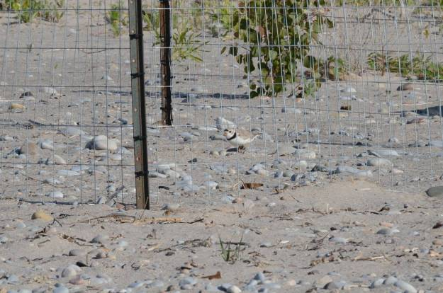 piping plover at nest among sand and rocks at darlington provincial park, ontario, 1
