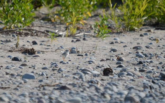 piping plover chick among sand and rocks at Darlington Provincial Park, Ontario