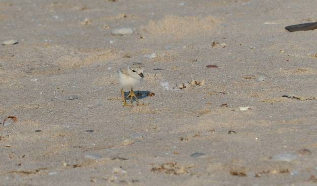 piping plover chick at Darlington Provincial Park, Ontario
