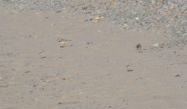 Piping plover chicks and adults at Darlington Provincial Park, Ontario