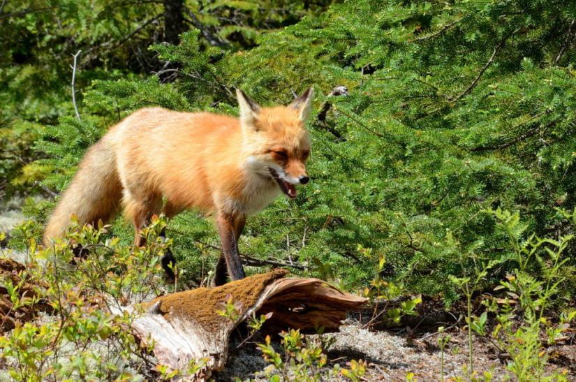 An image of a Red fox vixen walking through a green forest in Algonquin Park in Ontario, Canada.