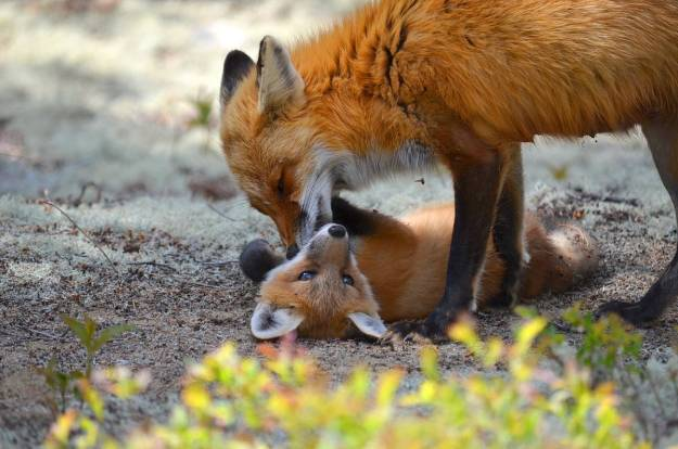 Red fox vixen grooms one of her kits in Algonquin Park, Ontario
