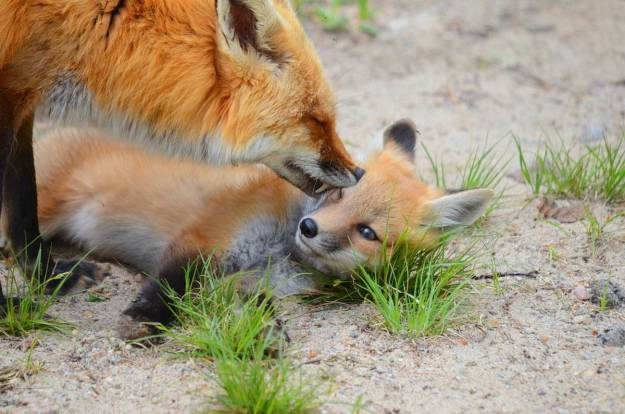 An image of a Red fox vixen grooms her kit in Algonquin Park, in Ontario.