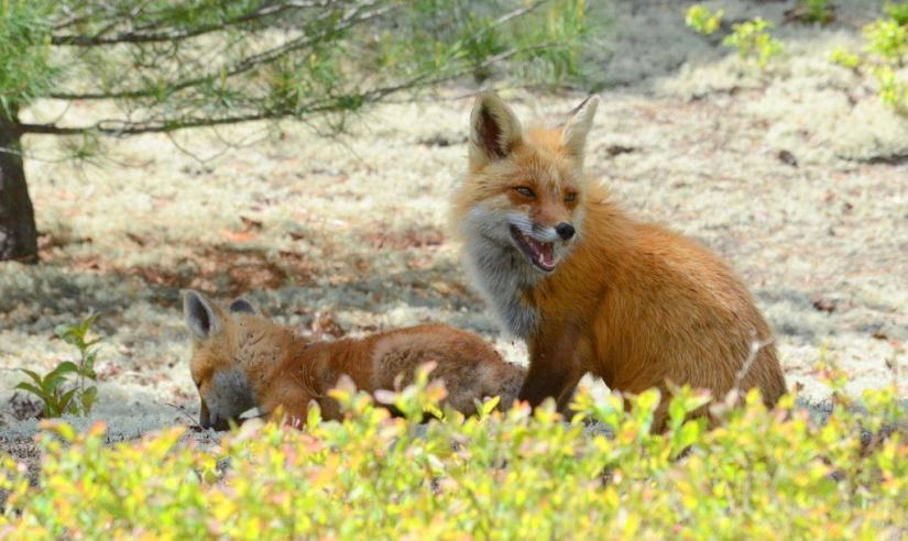 An image of a Red fox vixen sitting under a tree with her kit in Algonquin Park in Ontario, Canada.