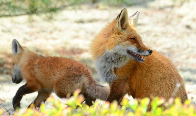 An image of a Red fox vixen sitting with her kit in Algonquin Park in Ontario, Canada.