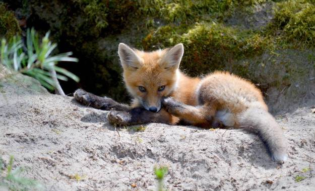 An image of a Red fox kit sitting in the entrance of its den in Algonquin Park, in Ontario, Canada.