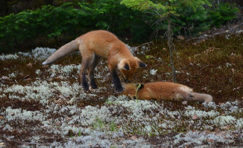An image of two Red fox kits jumping and having fun in Algonquin Park in Ontario, Canada.