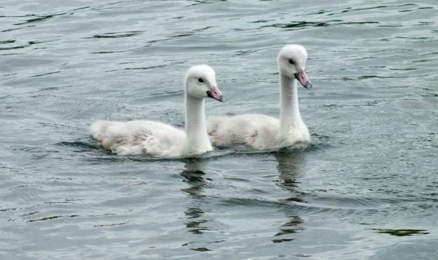 Image of two Trumpeter swan cygnets at Milliken Park in Toronto, Ontario.