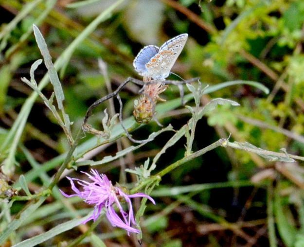 Image of a Adonis Blue Butterfly male at Il Colombaio di Cencio, Gaiole, Chianti, Tuscany, Italy