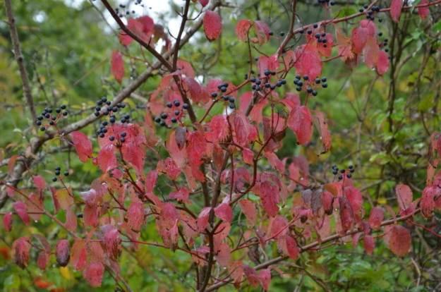 Fall colour at Il Colombaio di Cencio, Gaiole, Chianti, Tuscany, Italy 1