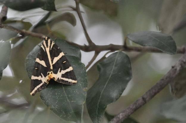 Image of a Jersey Tiger Moth at Il Colombaio di Cencio, Gaiole, Chianti, Tuscany, Italy