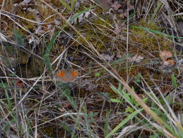 Image of a Large Wall Brown Butterfly female at Il Colombaio di Cencio, Gaiole, Chianti, Tuscany, Italy