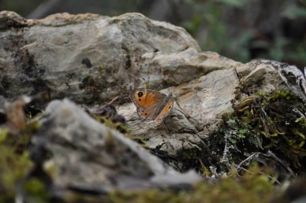 Unknown butterfly at Il Colombaio di Cencio, Gaiole, Chianti, Tuscany, Italy