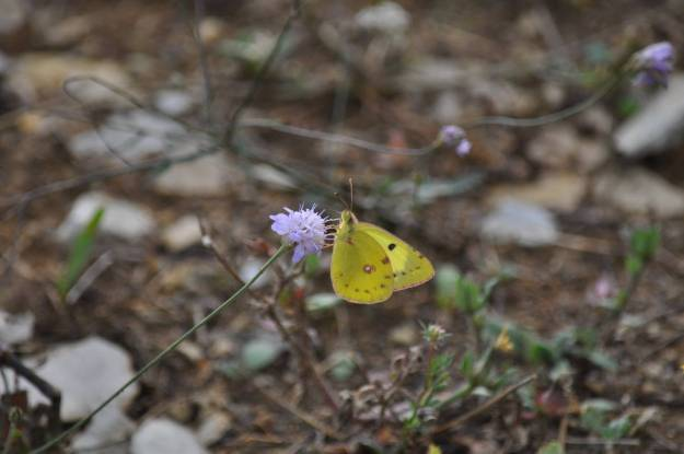 Image of a Pale Clouded Yellow Butterfly at Il Colombaio di Cencio, Gaiole, Chianti, Tuscany, Italy