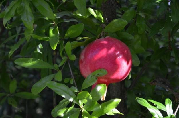 Pomegranate plump and ripe at Il Colombaio di Cencio, Gaiole, Chianti, Tuscany, Italy