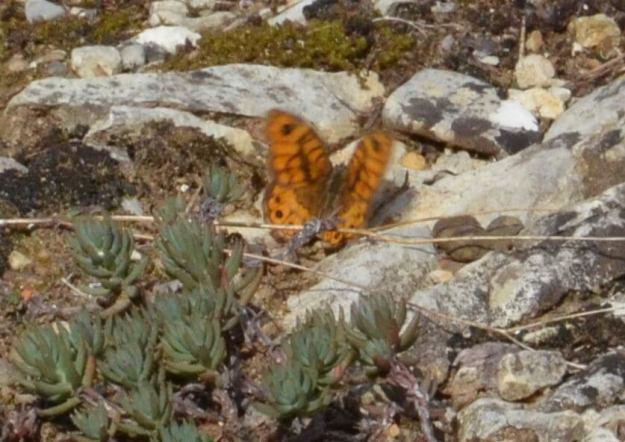 Image of a Wall Brown Butterfly male at Il Colombaio di Cencio, Gaiole, Chianti, Tuscany, Italy 2