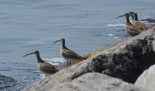 5 whimbrels along the lake ontario waterfront trail, ontario 2