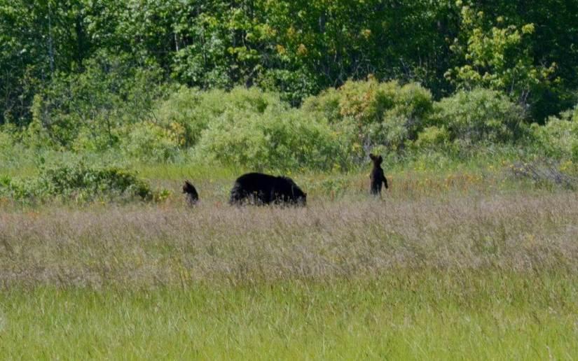 black bear cubs standup at cameron alvar, ontario