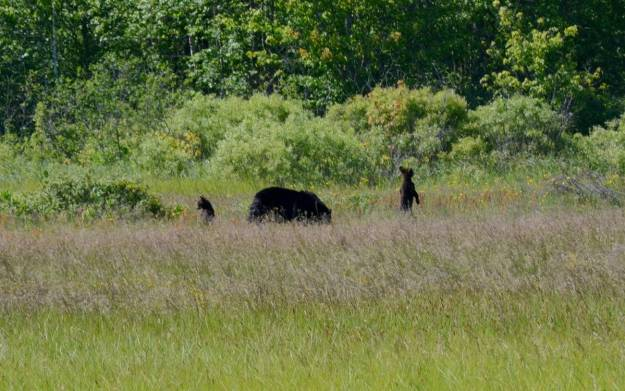 black bear cubs standup at cameron alvar, ontario
