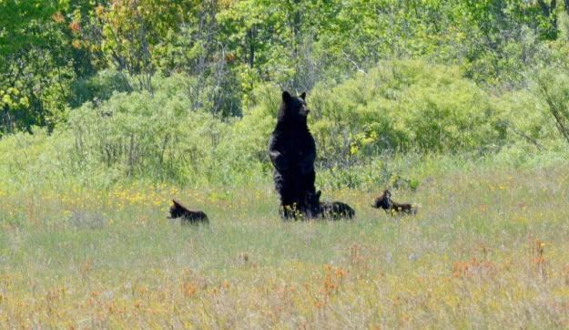 black bear mom standup at cameron alvar, ontario, 2