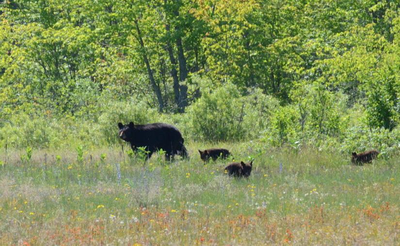 black bear with cubs in the meadow at carden alvar, ontario