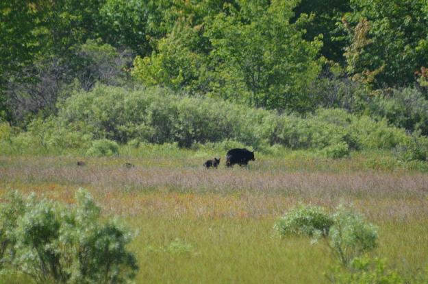 black bear with three cubs at carden alvar, cameron ranch, ontario, pic 3